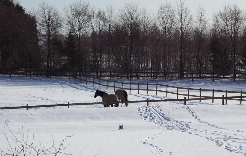 Ingdams heste
